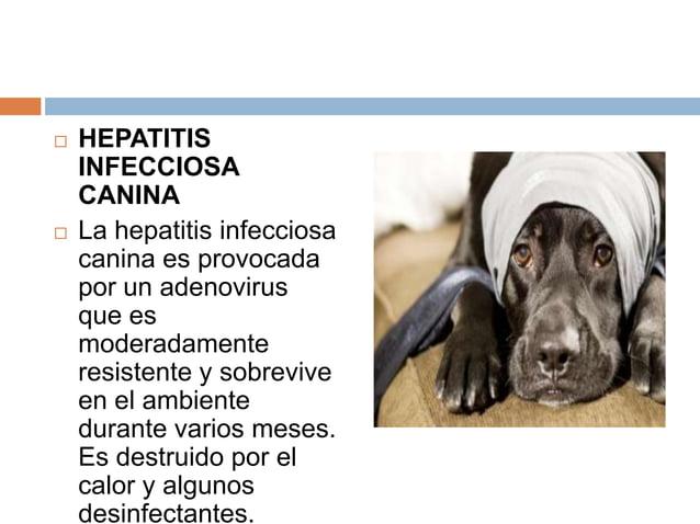     HEPATITIS INFECCIOSA CANINA La hepatitis infecciosa canina es provocada por un adenovirus que es moderadamente resis...