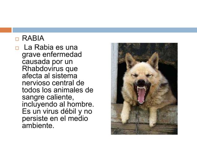     RABIA La Rabia es una grave enfermedad causada por un Rhabdovirus que afecta al sistema nervioso central de todos lo...
