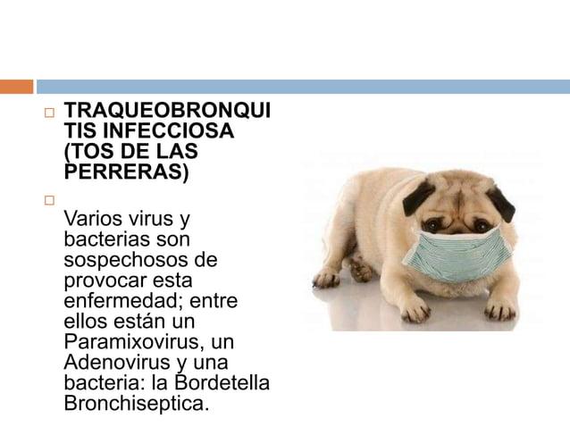   TRAQUEOBRONQUI TIS INFECCIOSA (TOS DE LAS PERRERAS)    Varios virus y bacterias son sospechosos de provocar esta enfer...