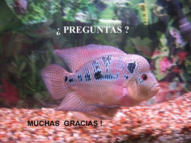 Enfermedades peces ornamentales for Peces ornamentales