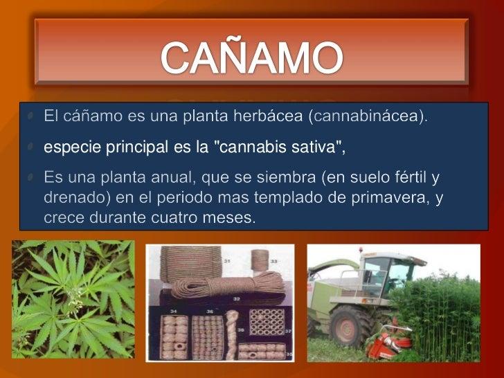 """CAÑAMO<br />El cáñamo es una planta herbácea (cannabinácea).<br />especie principal es la """"cannabis sativa"""", <br />Es una ..."""
