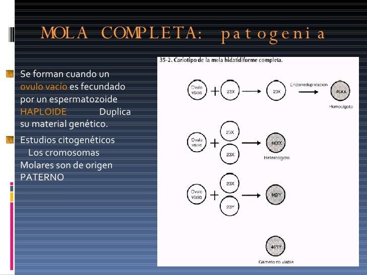 MOLA COMPLETA: patogenia  <ul><li>Se forman cuando un  ovulo vacío  es fecundado por un espermatozoide  HAPLOIDE  Duplica ...