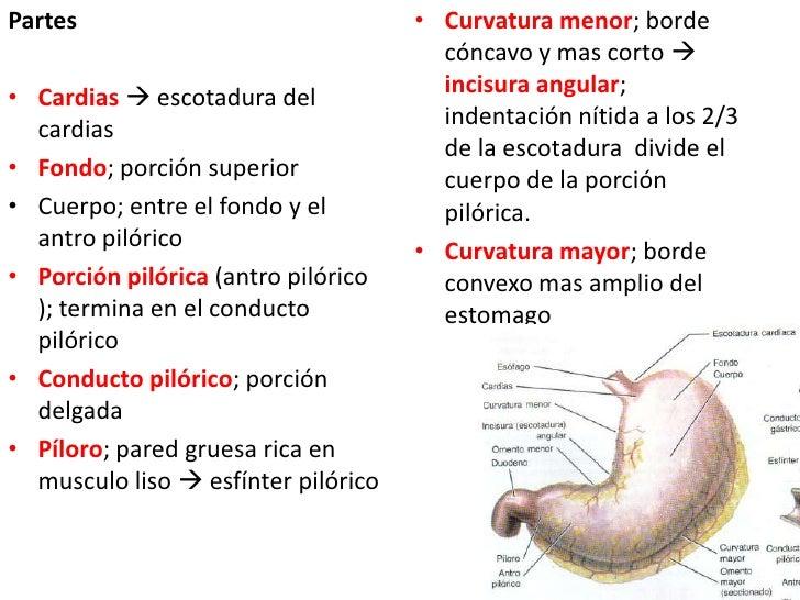Partes<br />Cardias  escotadura del cardias<br />Fondo; porción superior<br />Cuerpo; entre el fondo y el antro pilórico<...