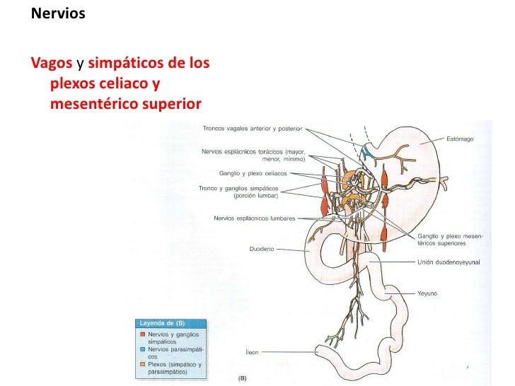 Nervios<br />Vagos y simpáticos de los plexos celiaco y mesentérico superior<br />