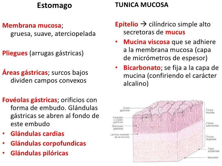 Estomago<br />Membrana mucosa; gruesa, suave, aterciopelada<br />Pliegues(arrugas gástricas)<br />Áreas gástricas; surcos ...