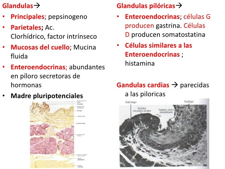 Glandulas<br />Principales; pepsinogeno<br />Parietales; Ac. Clorhídrico, factor intrínseco<br />Mucosas del cuello; Muci...
