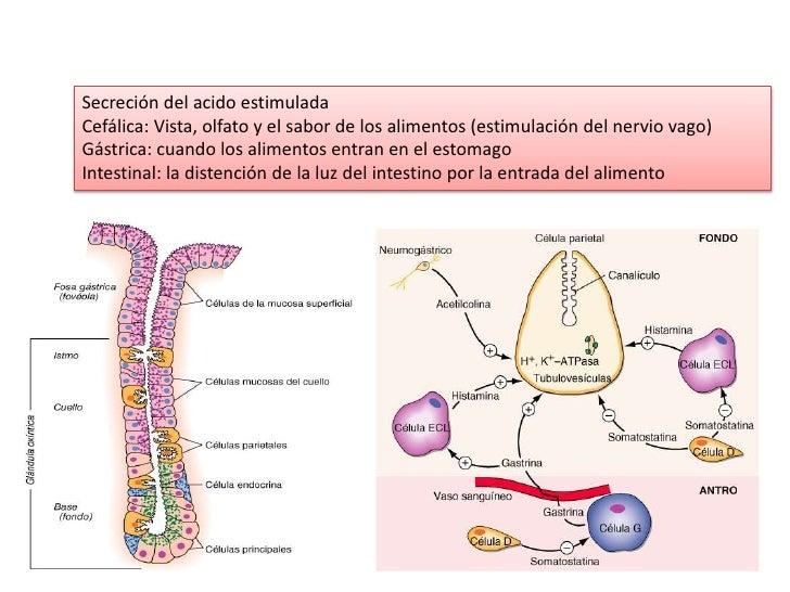 Secreción del acido estimulada<br />Cefálica: Vista, olfato y el sabor de los alimentos (estimulación del nervio vago)<br ...