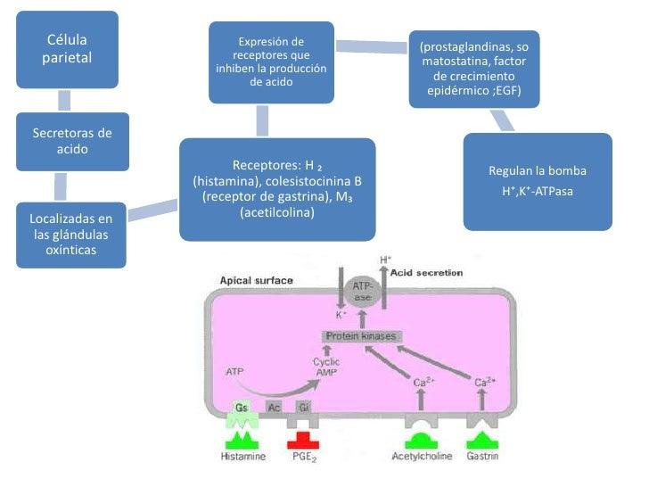 Célula parietal<br />Expresión de receptores que inhiben la producción de acido<br />(prostaglandinas, somatostatina, fact...