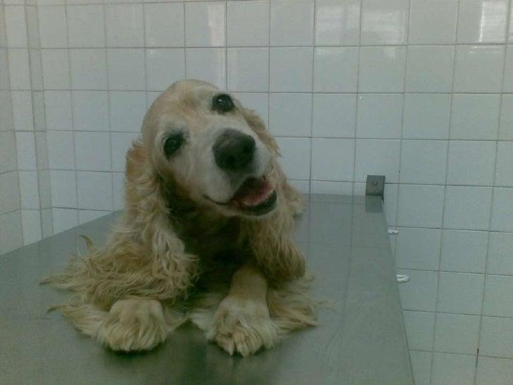 Enfermedad vestibular en caninos