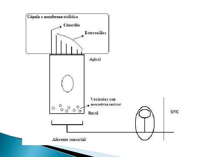Fascículo                 Núcleos del III, IV y VI par                         Longitudinal                         medial...