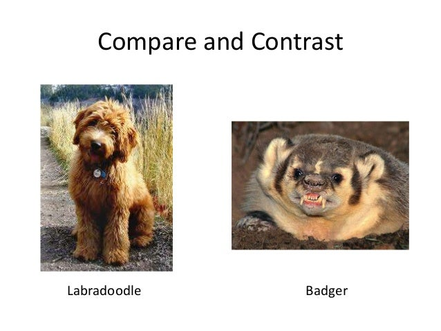 Compare and Contrast Labradoodle Badger