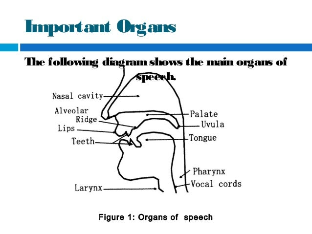 Eng 107 the organs of specch 9 important organs ccuart Choice Image