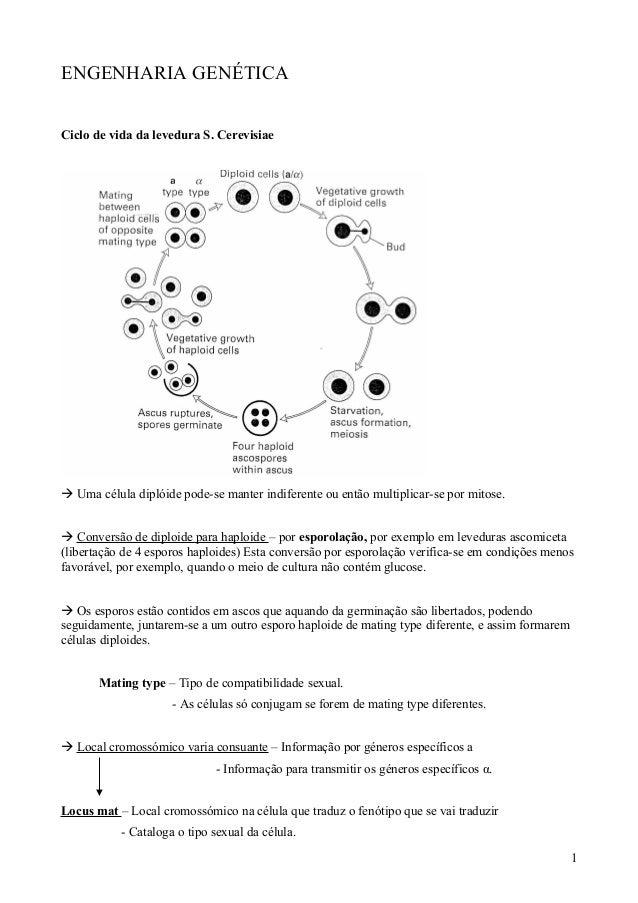 ENGENHARIA GENÉTICA  Ciclo de vida da levedura S. Cerevisiae   Uma célula diplóide pode-se manter indiferente ou então mu...