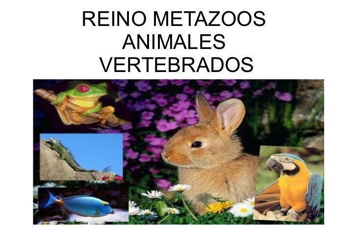 REINO METAZOOS ANIMALES  VERTEBRADOS