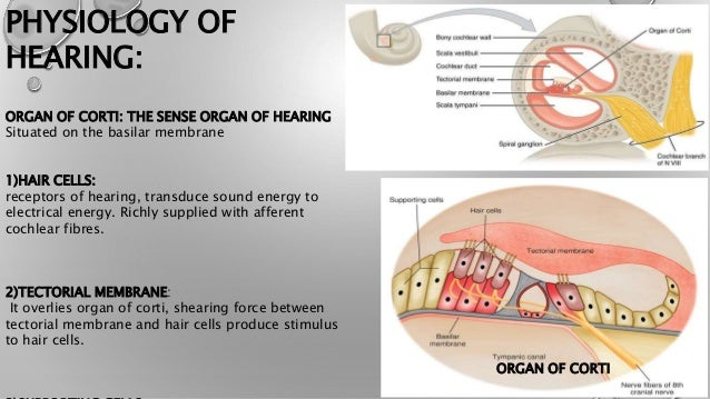 Anatomy And Physiology Of Ear Nose Throat And Newer Investigation