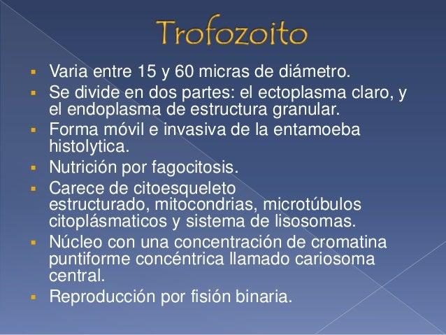 Ejemplos de trofozoitos en entamoeba histolytica