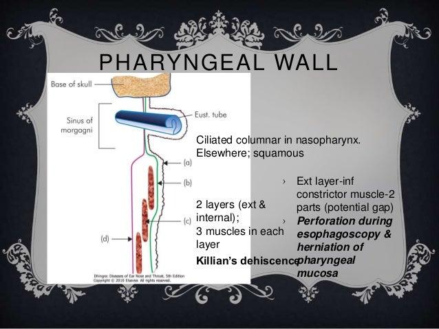 Anatomy Of Oral Cavity Amp Pharynx