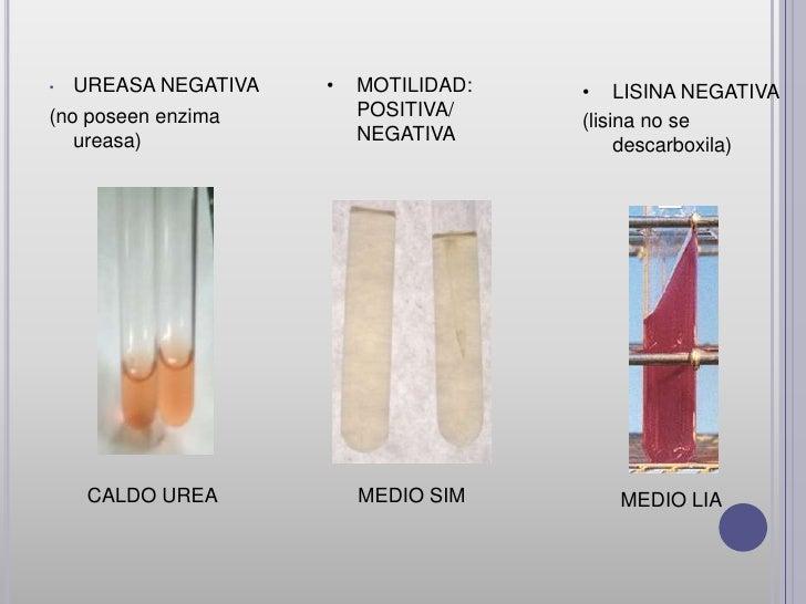 Tribu: Klebsiellacomprende cuatro géneros (Klebsiella, Enterobacter, Hafnia y Serratia).                        Genero : K...