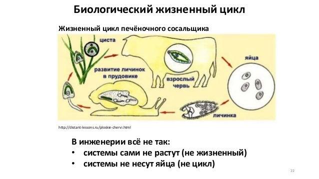 Биологический жизненный цикл 22 http://distant-lessons.ru/ploskie-chervi.html Жизненный цикл печёночного сосальщика В инже...