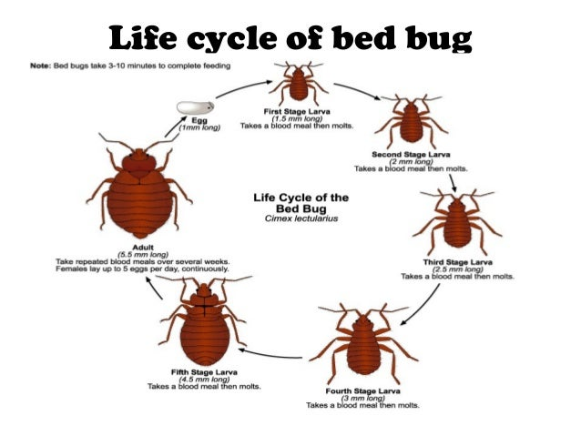 Head lice bugs look like 10