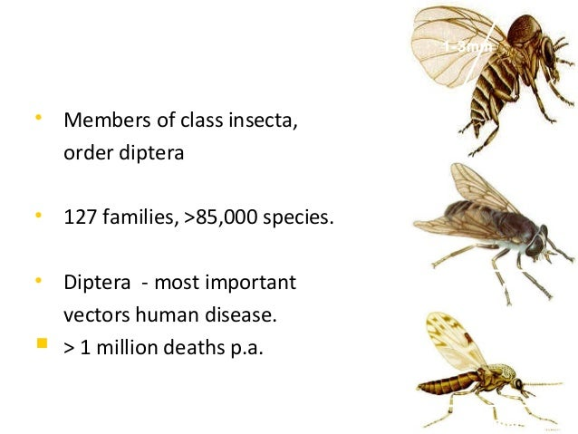 1-3mm• Members of class insecta,  order diptera• 127 families, >85,000 species.• Diptera - most important         18-22mm ...