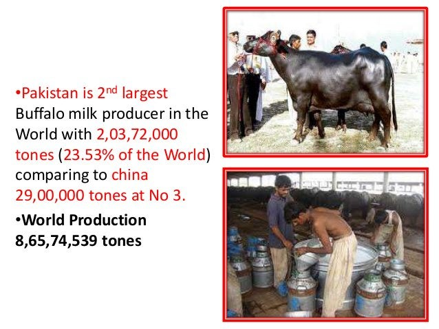 2nd largest MILK PRODUCTION PAKISTAN •Pakistan is 2nd largest Buffalo milk producer in the World with 2,03,72,000 tones (2...