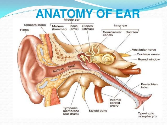 Anatomy Of The Ear Nose And Throat 39