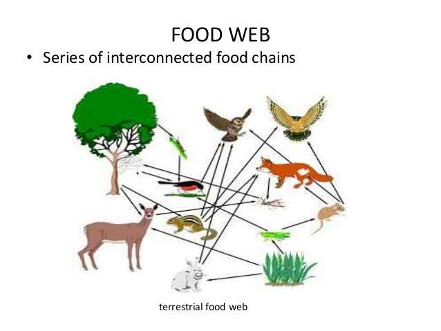 Simple Alligator Food Chain on Wetland Food Chain Example
