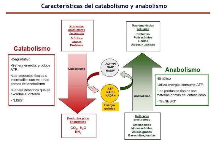 vias anabolicas y catabolicas