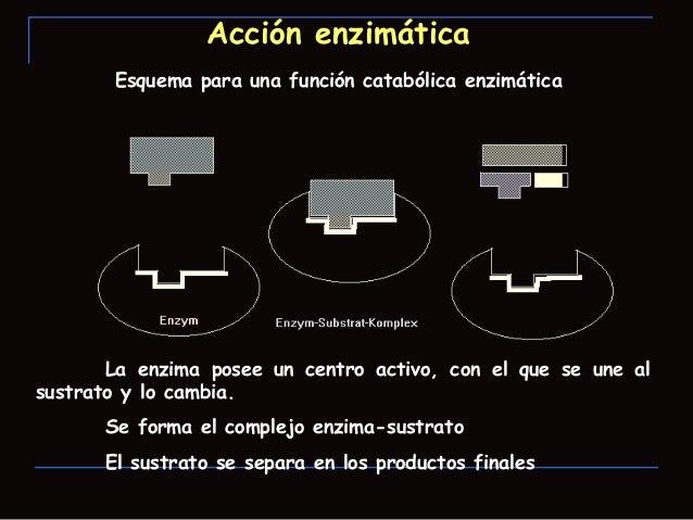 Función de las enzimas Una vez que el sustrato adecuado interacciona con elcentro activo se van a producir modificaciones...