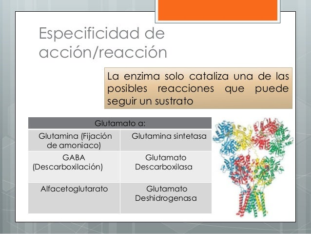 Especificidad de acción/reacción La enzima solo cataliza una de las posibles reacciones que puede seguir un sustrato Gluta...