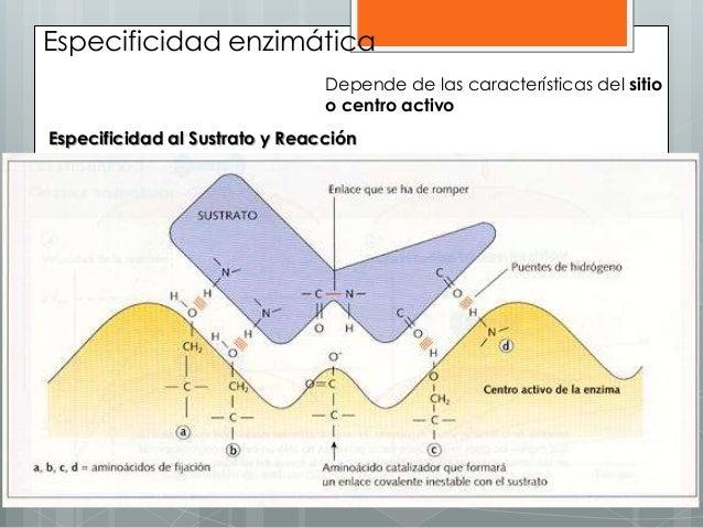 Especificidad enzimática Depende de las características del sitio o centro activo Especificidad al Sustrato y Reacción