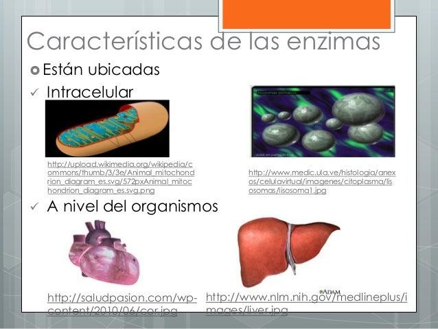 Características de las enzimas  Están ubicadas  Intracelular  A nivel del organismos http://upload.wikimedia.org/wikipe...
