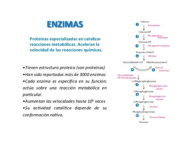 ENZIMAS   Proteínasespecializadasencatalizar   reaccionesmetabólicas.Aceleranla   velocidaddelasreaccionesquímic...