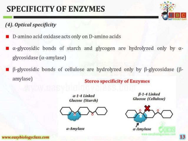 SPECIFICITY OF ENZYMES  (4).  Optical speci'ficity     I D—amino acid oxidase acts only on D—amino acids  I oi—glycosidic b...