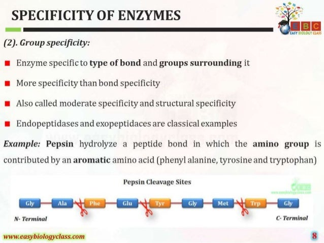 SPECIFICITY OF ENZYMES  (2).  Group spec1'ficity:      I Enzyme specific to type of bond and groups surrounding it I More s...