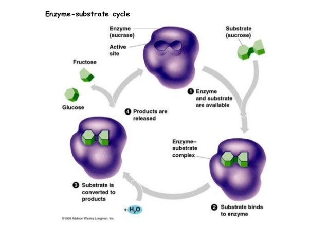 enzymatic cycle diagram enzymatic cycle diagram