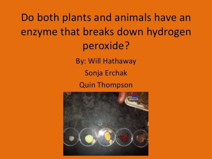 3 do plants and animals have an enzyme that breaks down hydrogen peroxide how could you test this The catalytic breakdown of hydrogen peroxide in this experiment looks very effective liquid hydrogen peroxide has greater energy than liquid water and gaseous oxygen by 23 kcal, ie it breaks down exothermically how to make a crystal from copper sulfate chemical gems from copper sulfate.