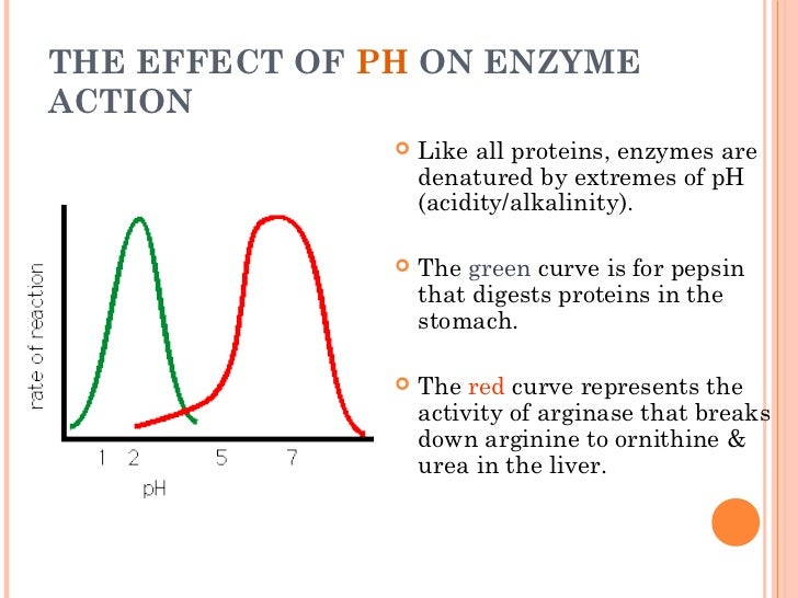 the effect temperature has on the activity of the enzyme essay