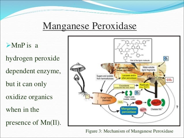 Manganese Peroxidase MnP is a hydrogen peroxide dependent enzyme, but it can only oxidize organics when in the presence o...