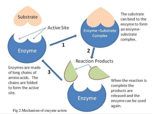 Fig 2:Mechanism of enzyme action