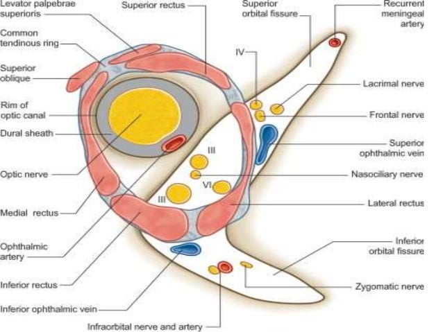 Anatomy of extraocular muscles