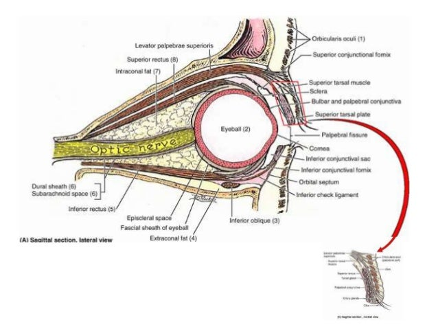 extra ocular muscles ppt, Human Body