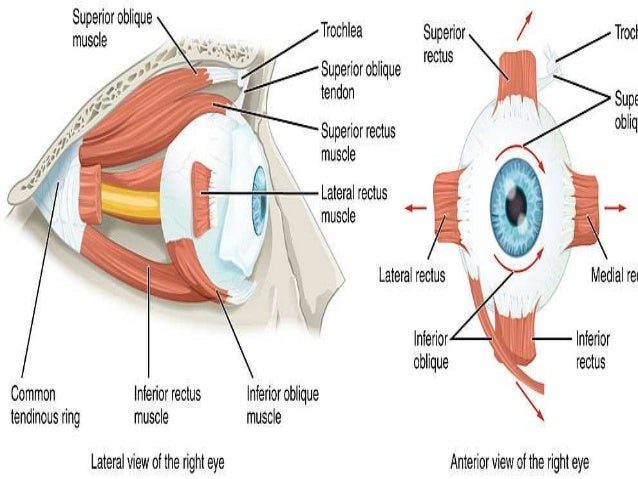 EXTRA OCULAR MUSCLES ANATOMY