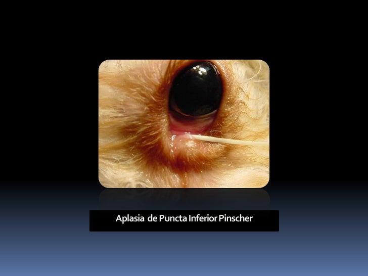 Angel's Eyes      Tilosina:         •   Mesma classe da eritromicina.             Antibiótico Longo Prazo ?             Pa...