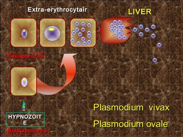 Extra-erythrocytair          LIVERTakisporozoit                             Plasmodium vivaxHYPNOZOITHYPNOZOIT     EE     ...