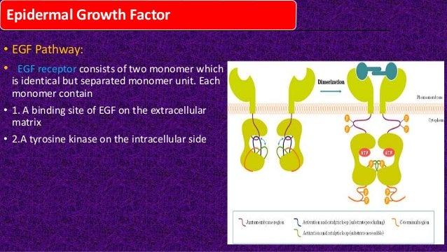 Epidermal growth factor(egf)