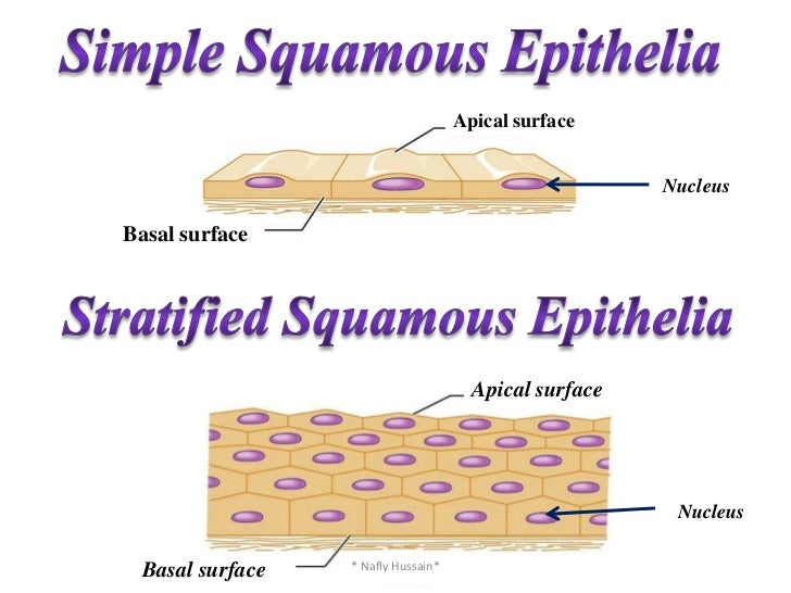 what is squamous epithelial tissue Epithelial tissue covers the outside of the body and lines organs, vessels, and cavities it's classified by the shape of cells and number of layers  endothelial cells are epithelial cells that form a thin layer of simple squamous epithelium known as.