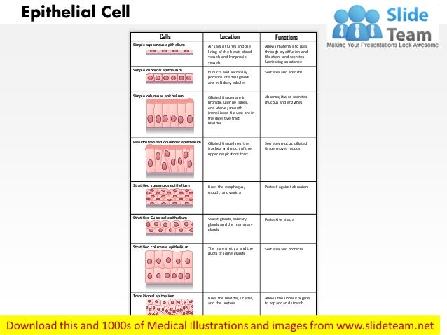 Epithelial Cell Cells Simple squamous epithelium Simple cuboidal epithelium Simple columnar epithelium Pseudostratified co...