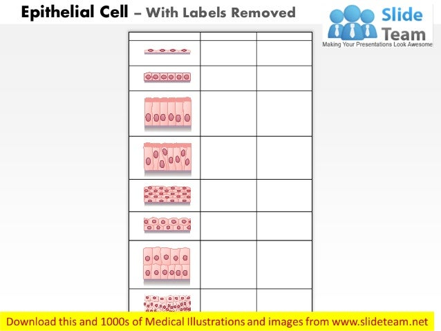 Epithelial cell medical images for power point Slide 2